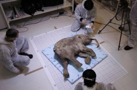 The baby mammoth Liouba comes back home